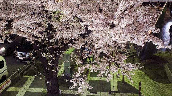 季節外れの桜 その1